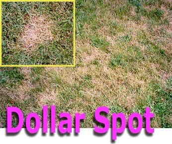 dollar spot disease